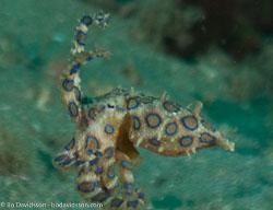 BD-090922-Bunaken-9223595-Hapalochlaena-maculosa-(Hoyle.-1883)-[Lesser-blue-ringed-octopus].jpg